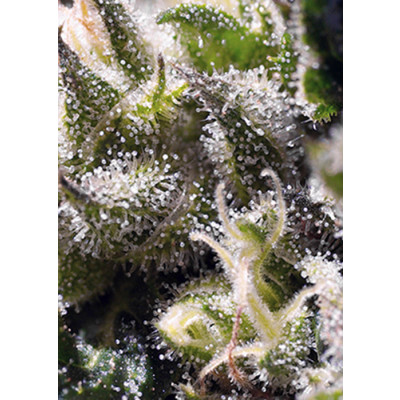 Auto Cream Caramel Sweet Seeds