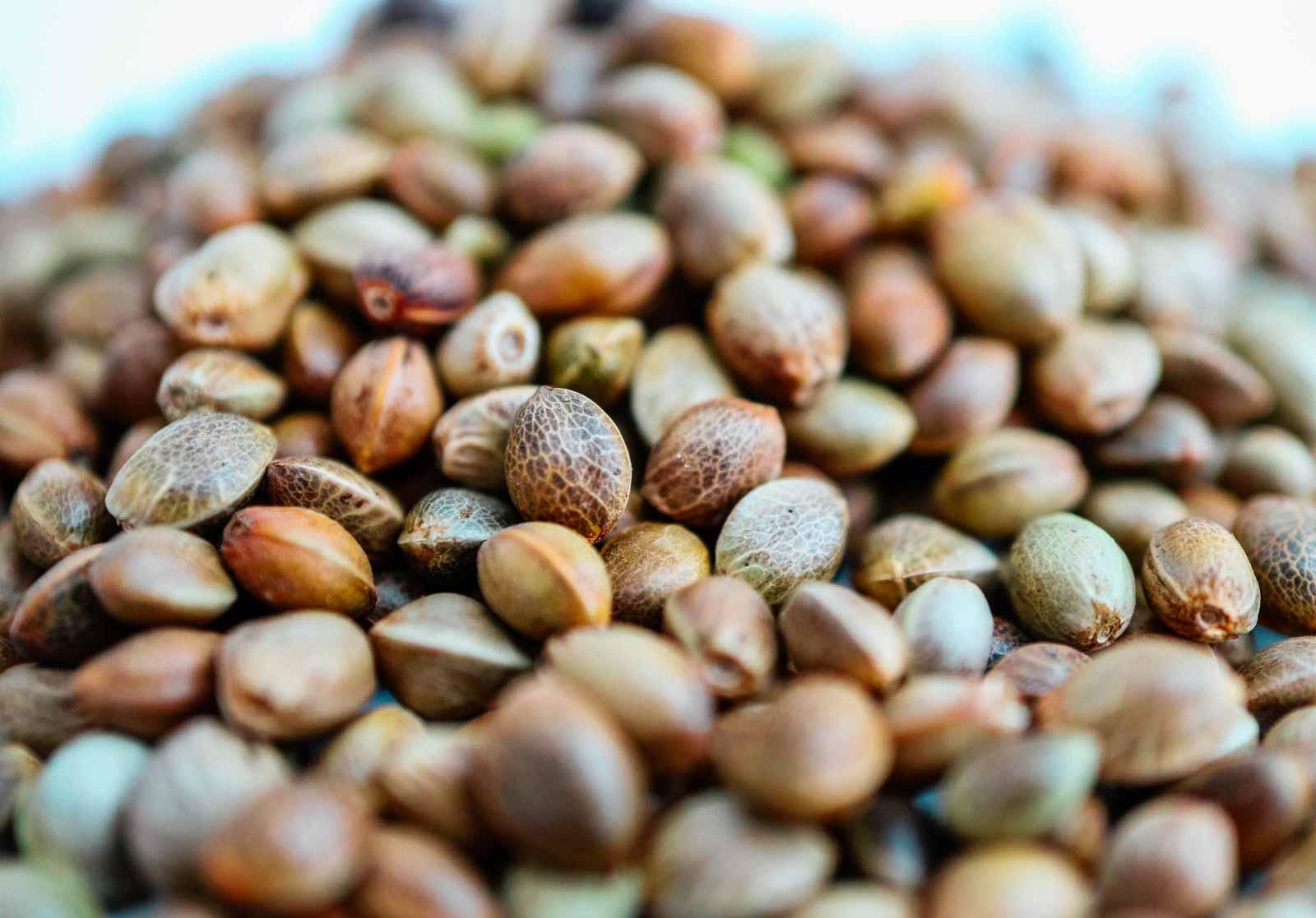 Autoflower semena konoplje