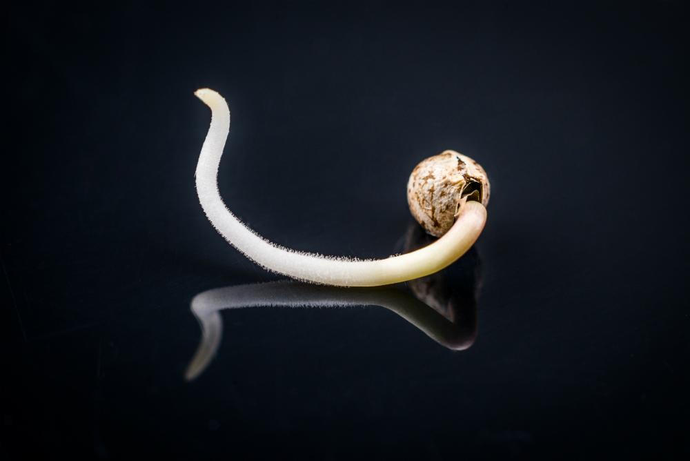 Klitje semena konoplje